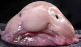 ugly blobfish
